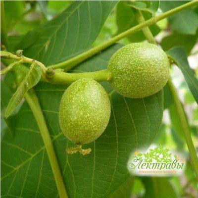 Зелёный-грецкий-орех-молочной-спелости-10-шт